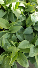 Load image into Gallery viewer, Assorted 1 gal Hosta