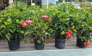 Assorted Hibiscus Bush 10in   Now 30% off