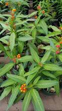 Load image into Gallery viewer, Butterfly Weed 1gal