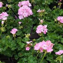 Load image into Gallery viewer, Geraniums 6in