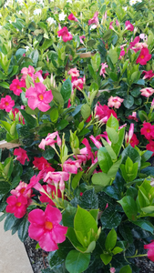 Assorted Mandevilla Trellis 10in