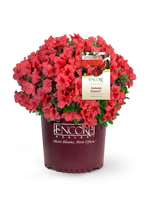 Load image into Gallery viewer, Assorted Encore Azaleas 1gal