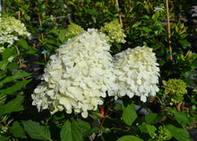 Load image into Gallery viewer, Limelight Hydrangeas 3gal