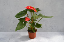 Load image into Gallery viewer, Anthurium 6""