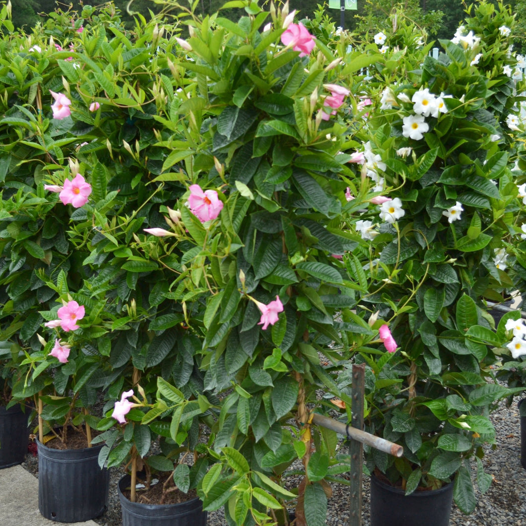 Mandevilla Teepee 12in    Now 30% off