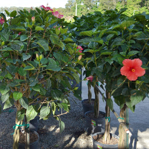 Hibiscus Tree 12in