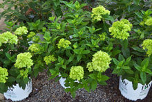 Load image into Gallery viewer, Little Lime Hydrangeas 3gal
