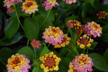 Load image into Gallery viewer, Annual Lantana 6in