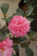 Load image into Gallery viewer, Camellia