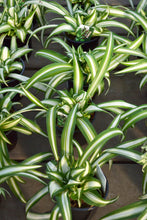 Load image into Gallery viewer, Spider Plant 3.5""