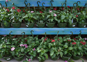 Assorted Hanging Baskets 8in