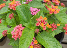 Load image into Gallery viewer, Lantana Bloomify Rose