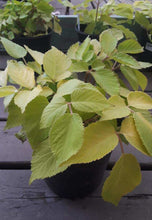 Load image into Gallery viewer, Aralia 'Sun King' 1gal
