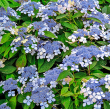Load image into Gallery viewer, Assorted Hydrangea 1gal - select varieties as listed.