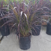 Load image into Gallery viewer, Purple Fountain Grass 1gal