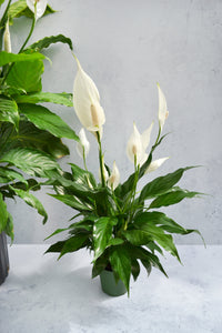 Peace Lily Asst.