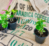 Arabica Coffee Bean Plant