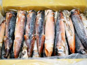 Frozen Surume Ika Squid 20 PC