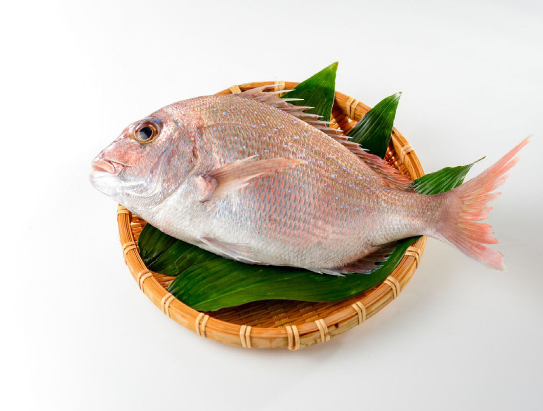 Madai Ikejime Tsukiji Farm Raised (Red Sea Bream) 4.5 LBS/PC