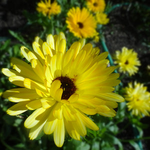 Calendula: Pacific Beauty