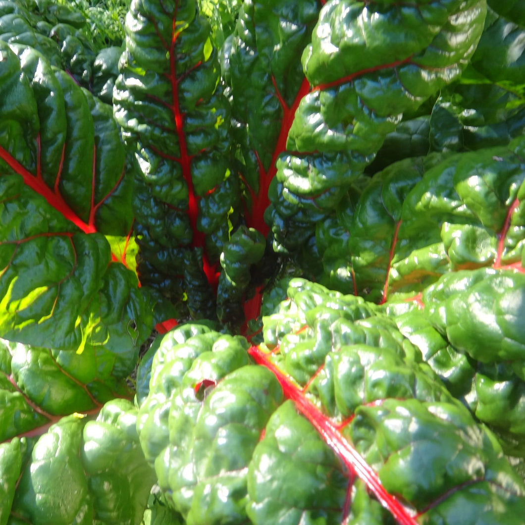 Swiss Chard: Rainbow