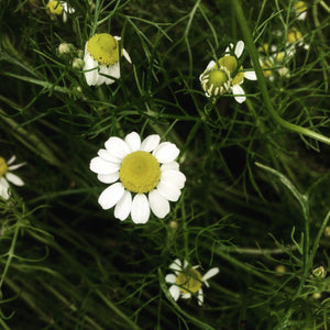 Chamomile: German