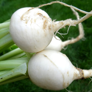 Turnip: White Egg