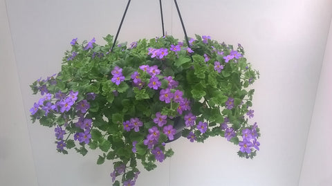 Bacopa Hangpot - paars of wit