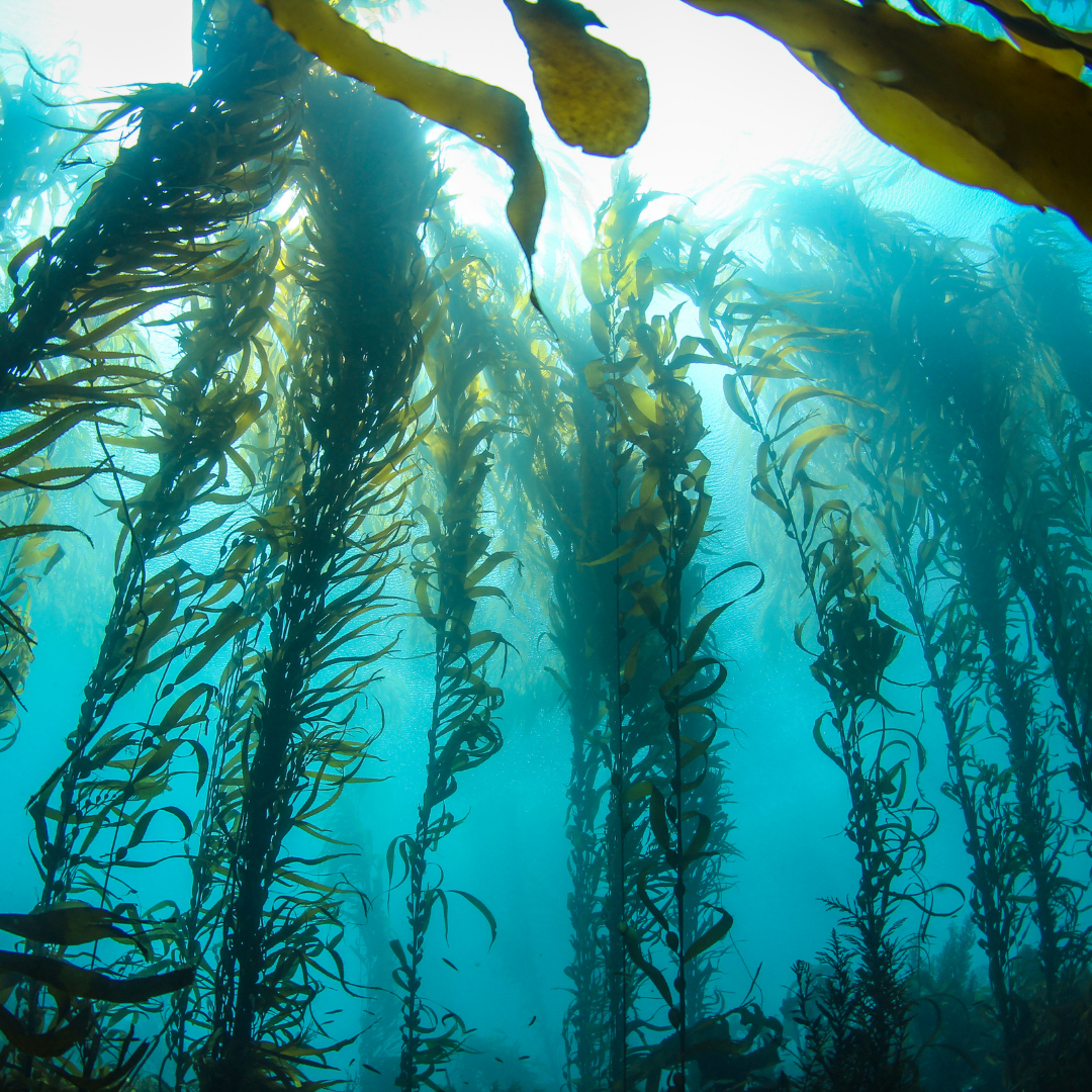 Kelp Forests: Unsung Hero for Combatting Climate Change, in partnership with Akua