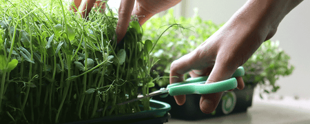How to have a constant supply of fresh homegrown greens!
