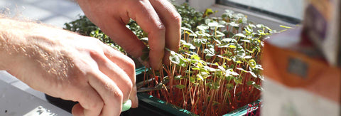 Image of person harvesting buckwheat microgreens
