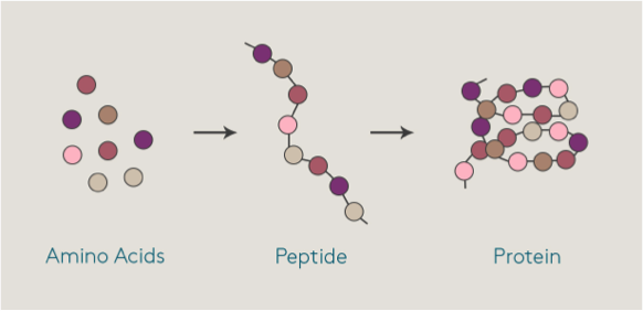 peptides2.png