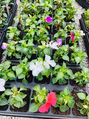 Bedding Impatiens Mixed