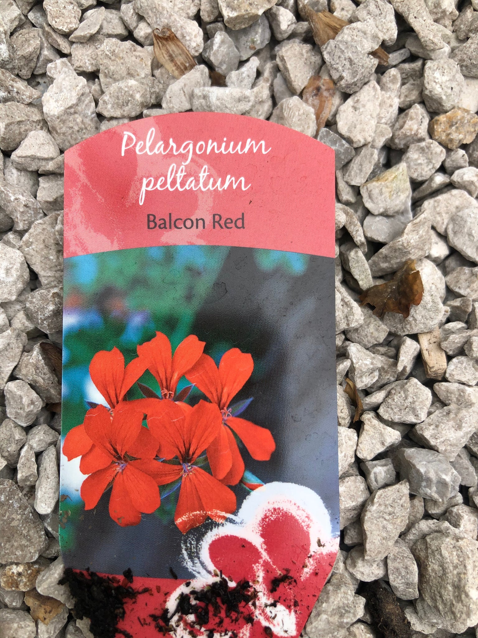 Bedding Ivy Geranium Belcon Red