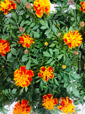 Bedding Marigold Bonanza Bee