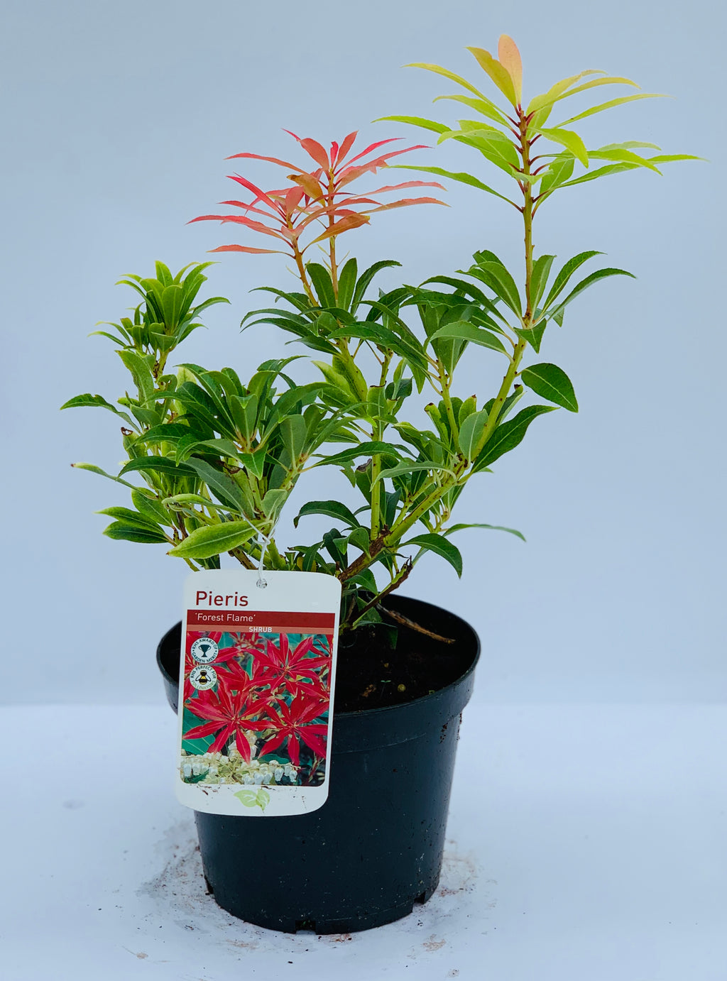 Pieris - Forest Flame