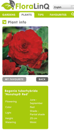 Bedding Begonia Non Stop Double Red