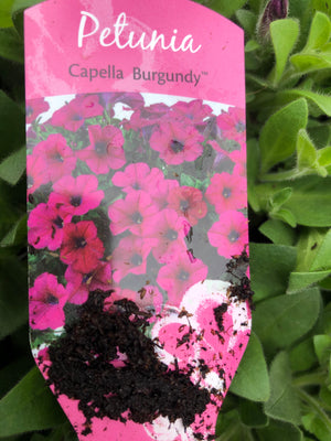 Bedding Petunia Capella Burgundy