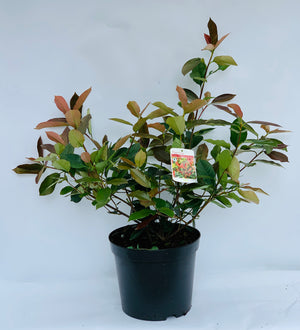 Photinia  - X Fraser 'Red Robin'