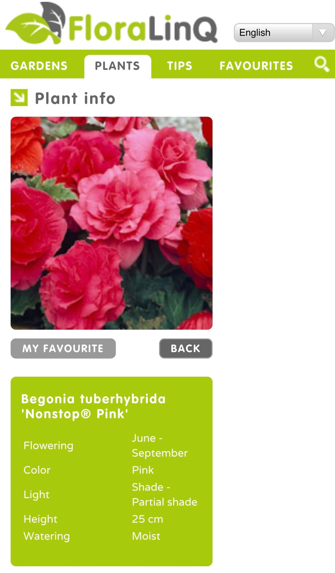Bedding Begonia Non Stop Double Pink