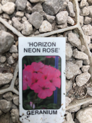 Bedding Geranium Neon Rose