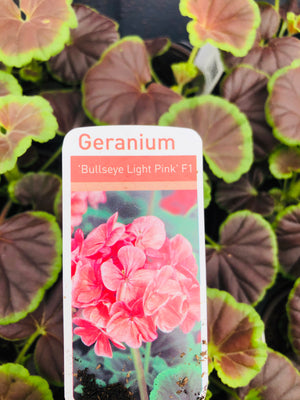 Bedding Geranium Bullseye Light Pink