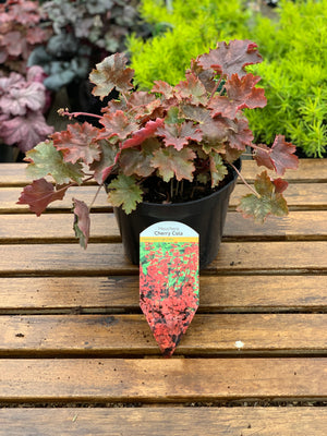 Heuchera - Cherry Cola
