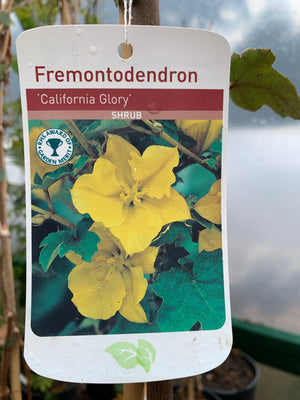 Fremontodendron - California Glory