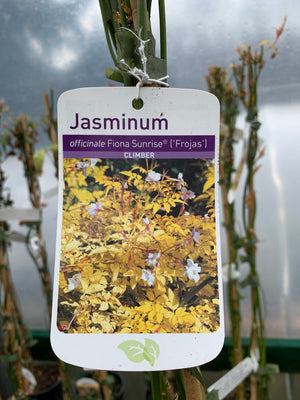 Jasminum - Officinale Fiona Sunrise 'Frojas'