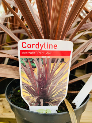 Cordyline - Australis 'Red Star'
