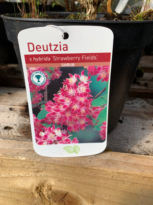 Deutzia - Hybrida 'Strawberry Fields'