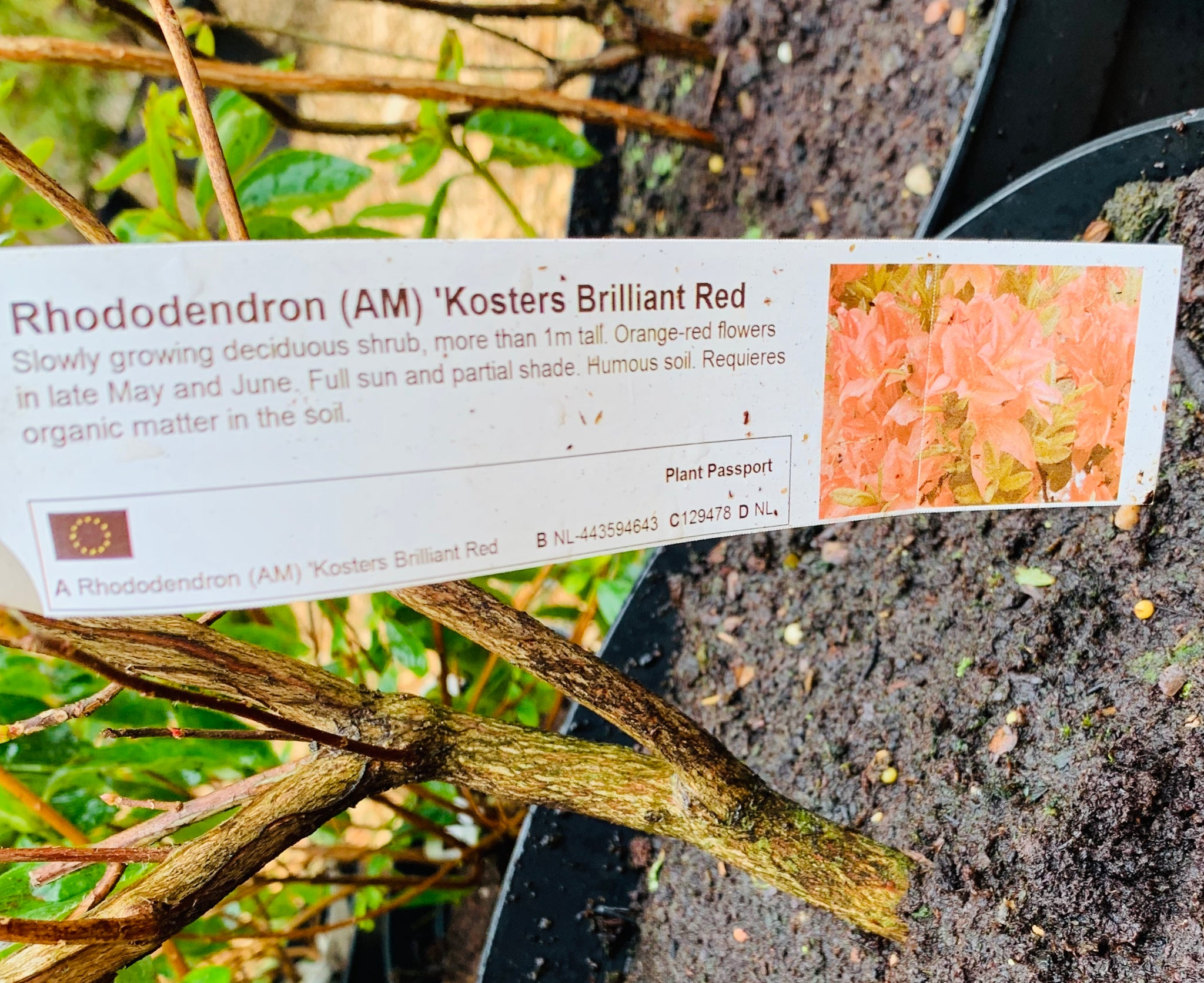 Rhododendron - Kosters 'Brilliant Red'