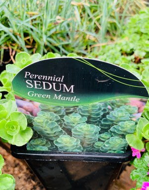 Sedum - Green Mantle