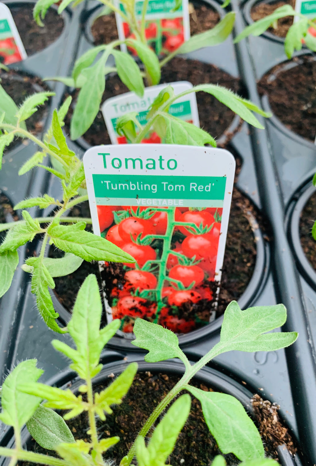 Tomato Tumbling Tom Red